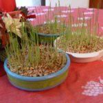 Pourquoi plante-t-on des lentilles à la Sainte Barbe ?